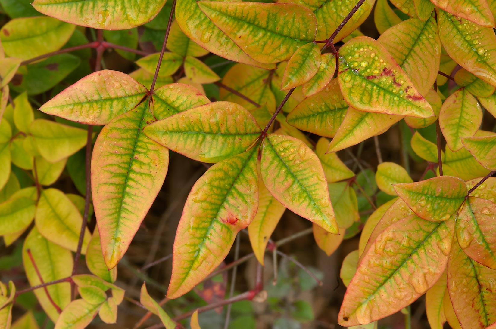 Yellow leaves of Nandina domestica (heavenly...Rose Emporium. Independence, Texas