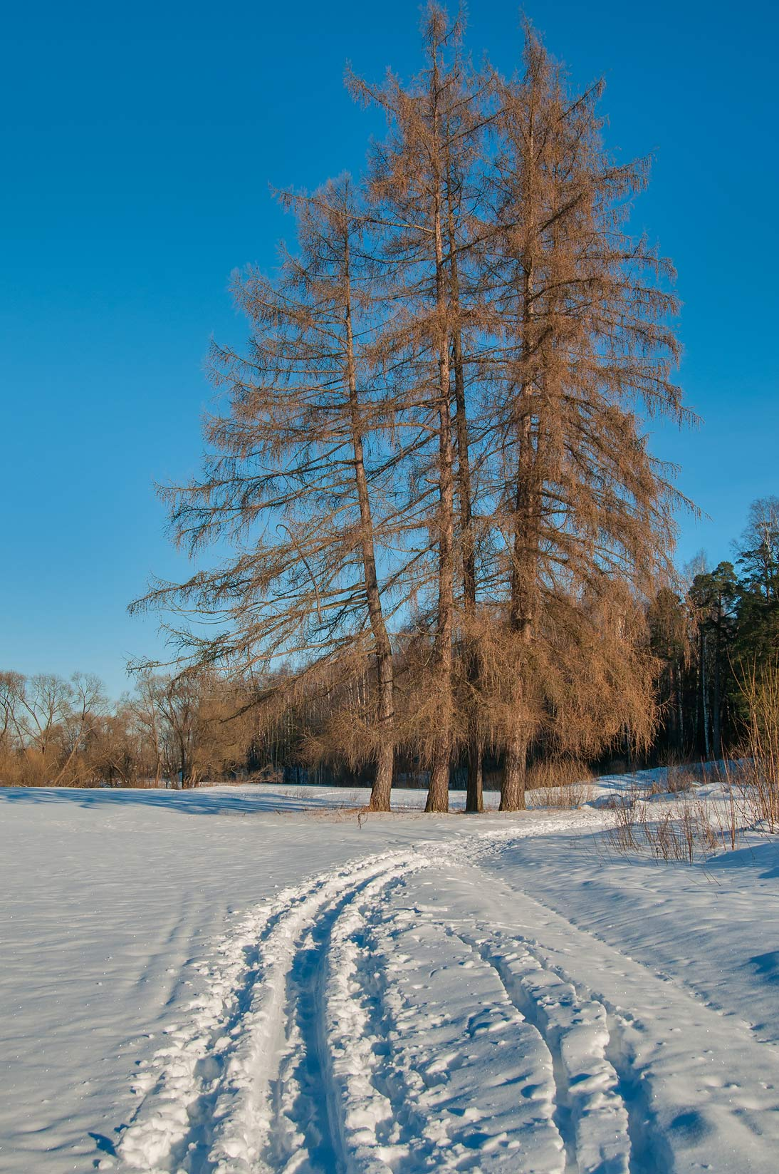 Larch trees on Slavianka Valley near Tiarlevo...a suburb of St.Petersburg, Russia