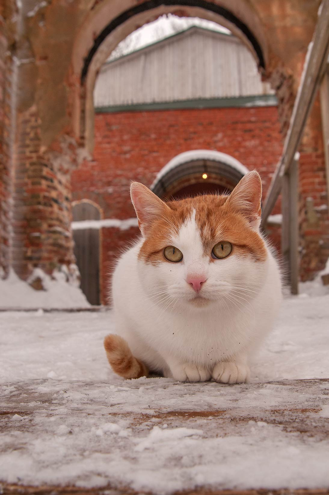 Brown cat in Koporye Fortress. Leningrad Region, Russia