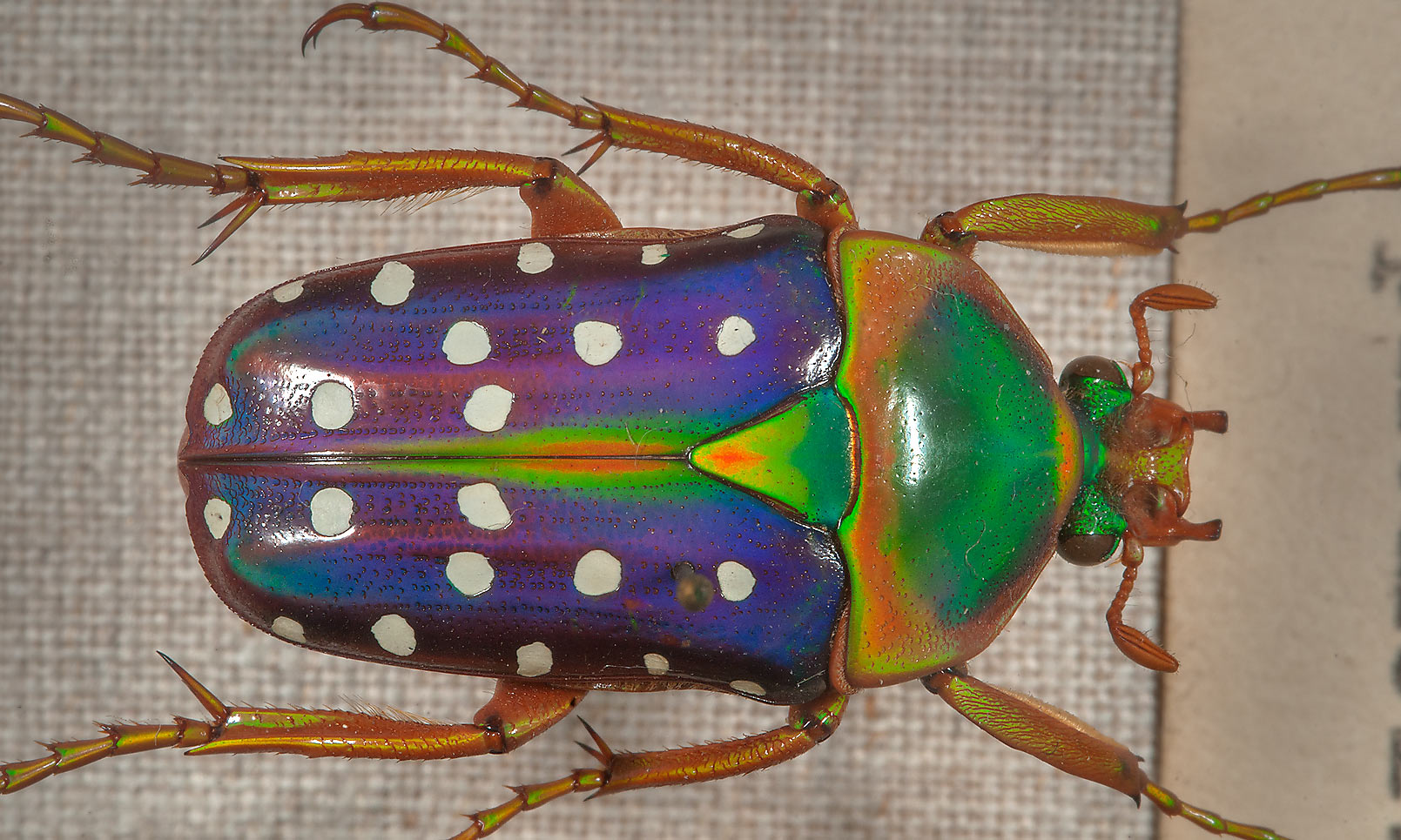 Blue Spotted Flower Beetle (Stephanorrhina...Museum. St.Petersburg, Russia
