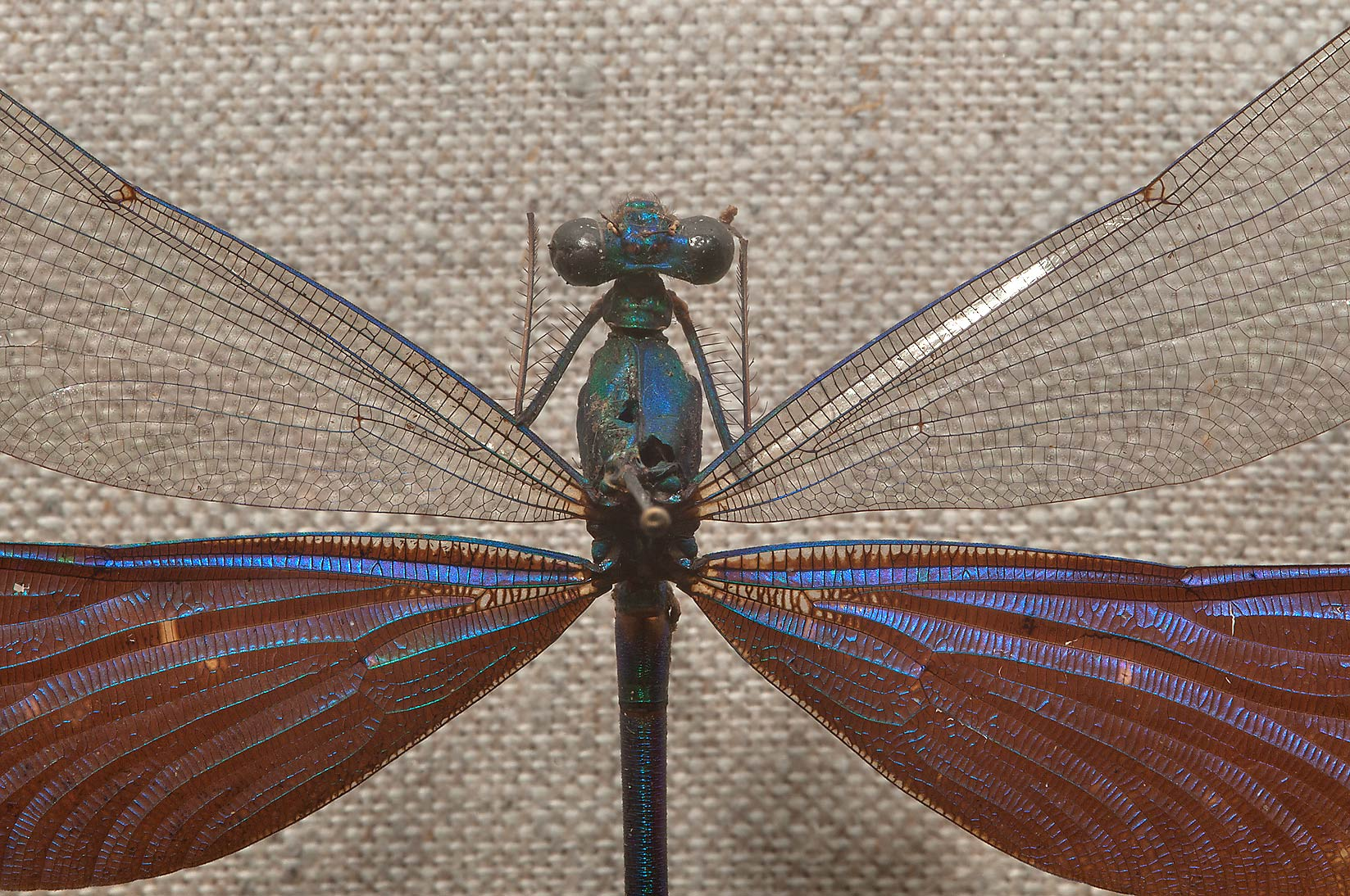 Damselfly in Zoological Museum. St.Petersburg, Russia