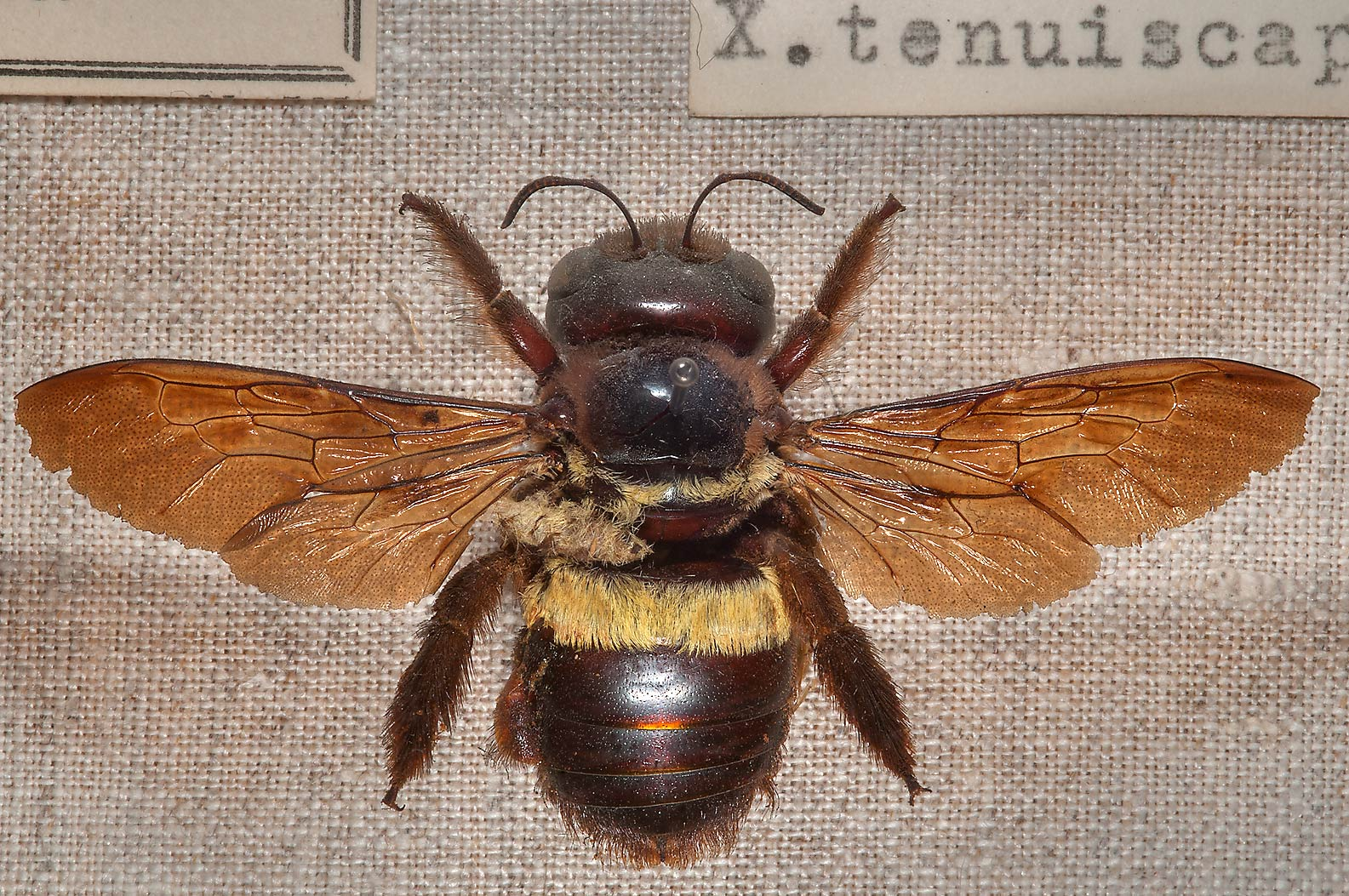 Large brown fly in Zoological Museum. St.Petersburg, Russia