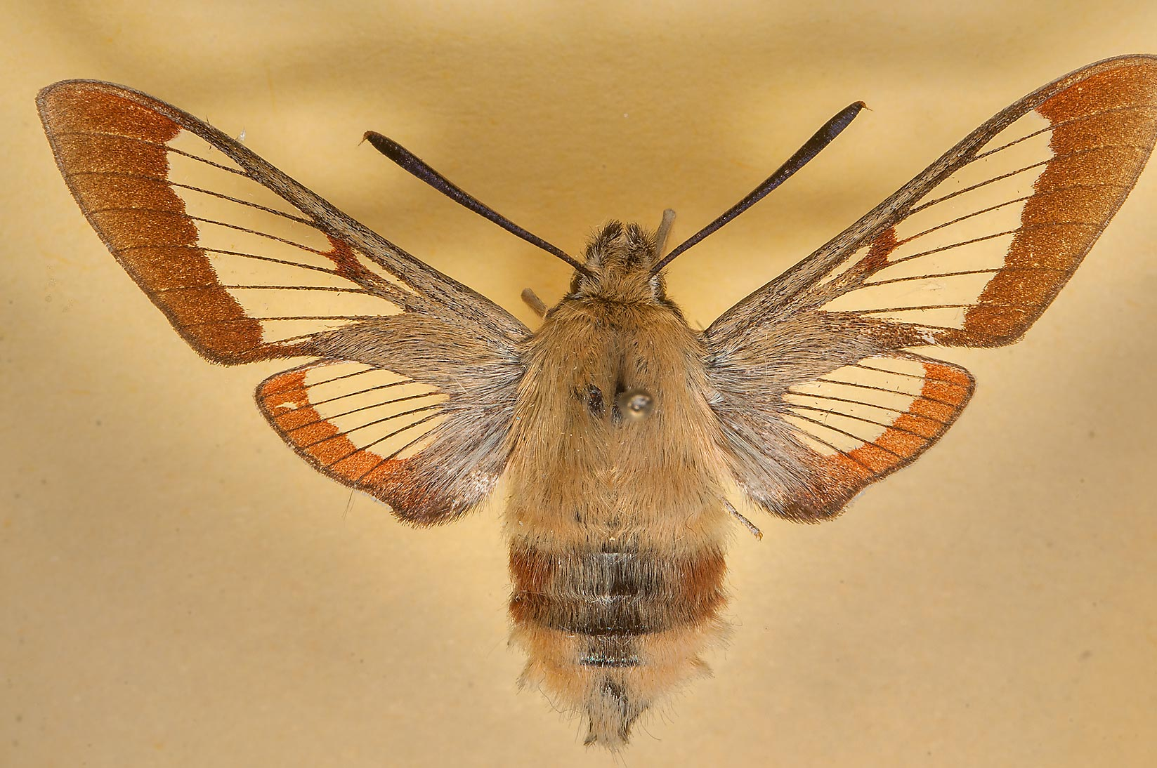 Broad-bordered Bee Hawk-moth (Hemaris fuciformis...Museum. St.Petersburg, Russia