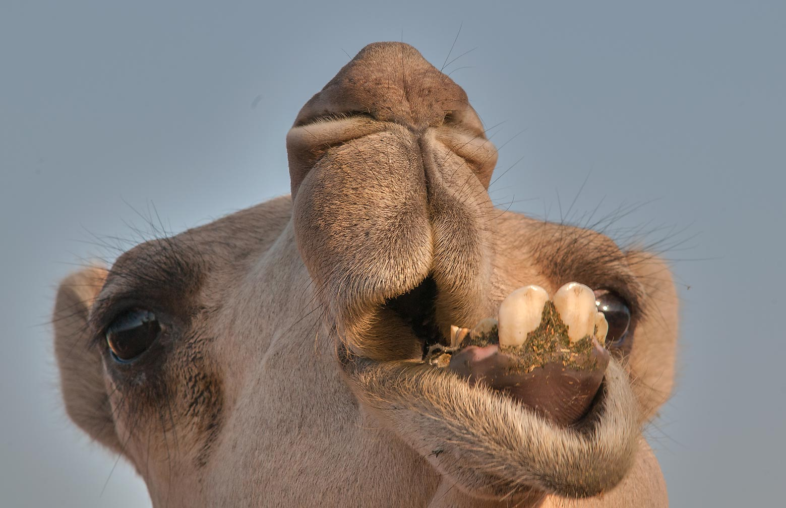 Chewing camel in Camel Market (Souq), Wholesale Markets area. Doha, Qatar