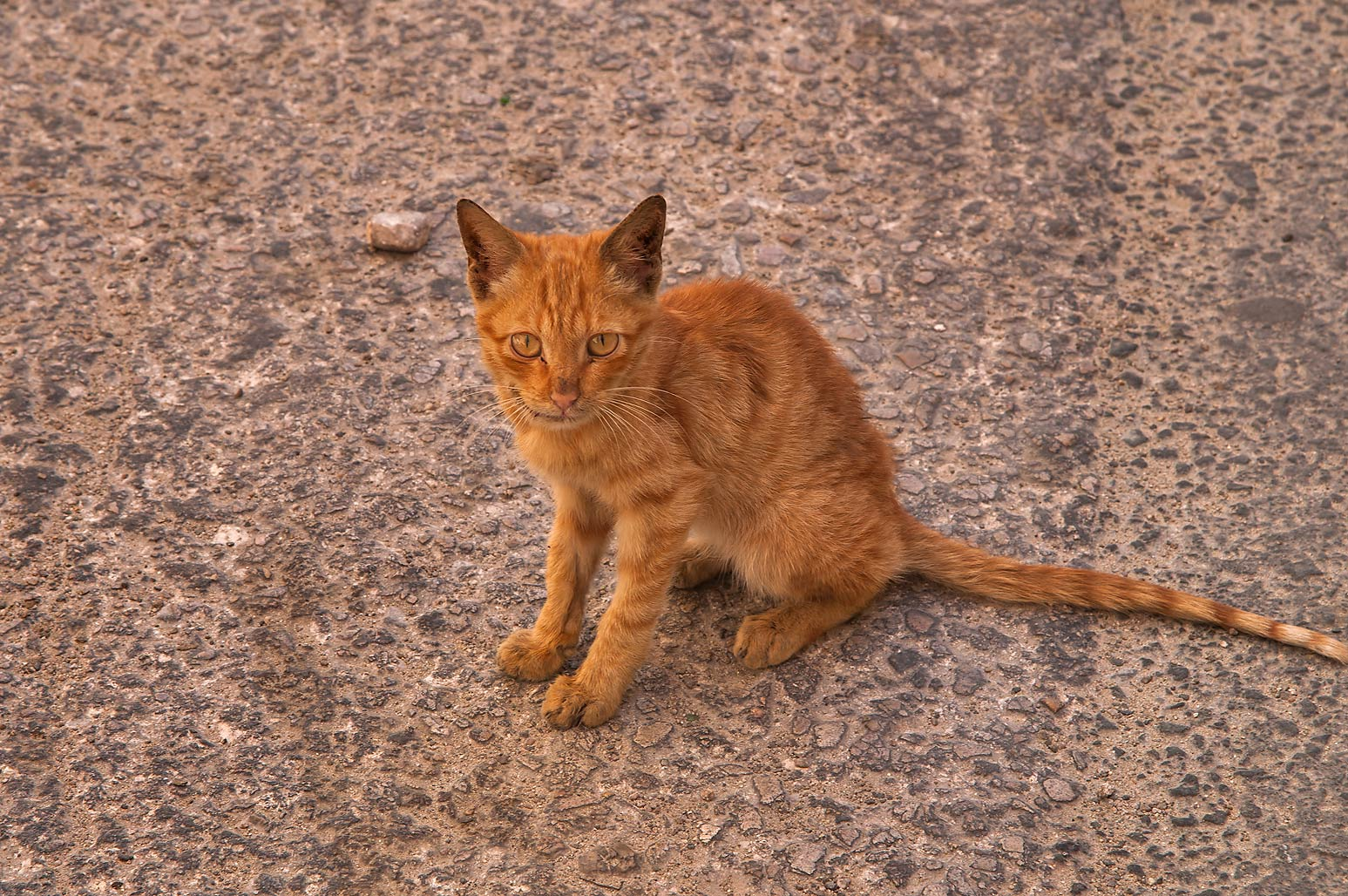 Brown kitten at Abdullah Bin Thani St.. Doha, Qatar