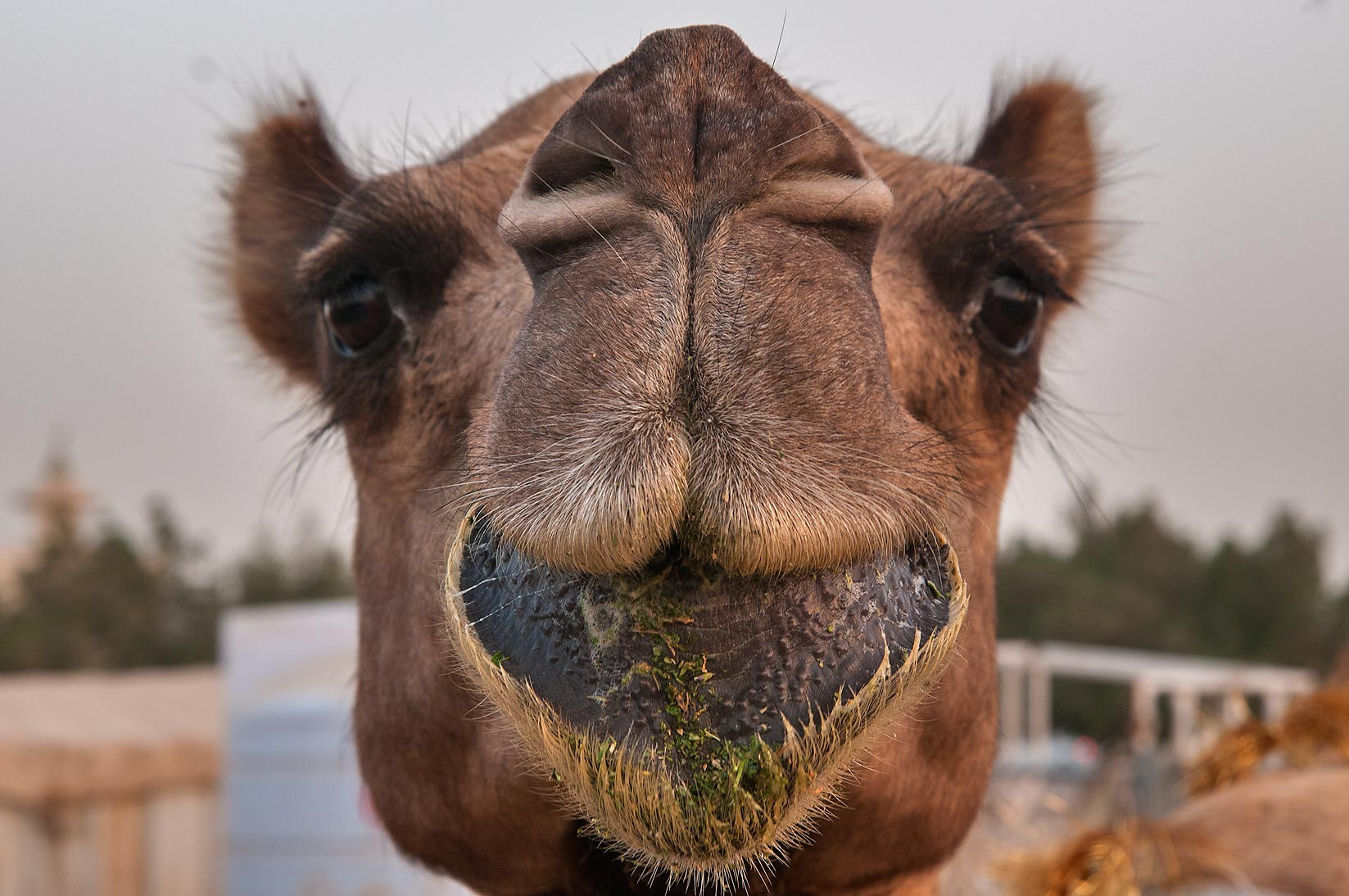 Camel with loose drooping lower lip in Camel Market, Wholesale Markets area. Doha, Qatar