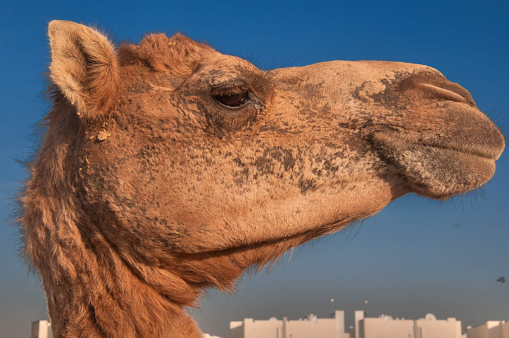 Animal's head in Camel Market, Wholesale Markets area. Doha, Qatar