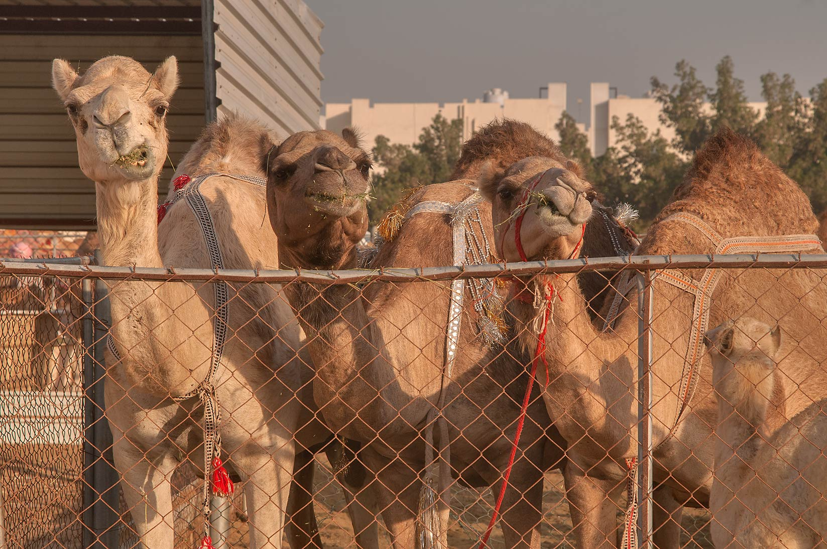 Three camels in Livestock Market, Wholesale Markets area. Doha, Qatar
