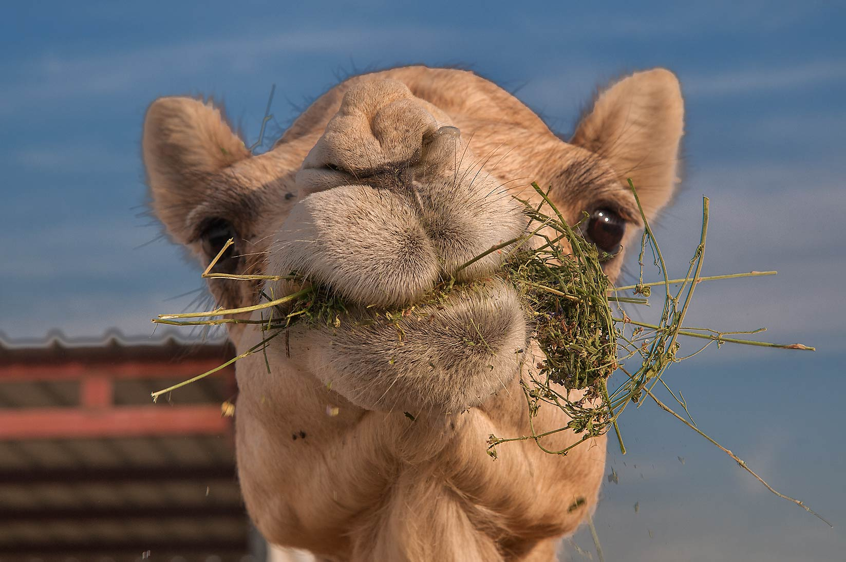 Camel with stalks of hay in Livestock Market, Wholesale Markets area. Doha, Qatar