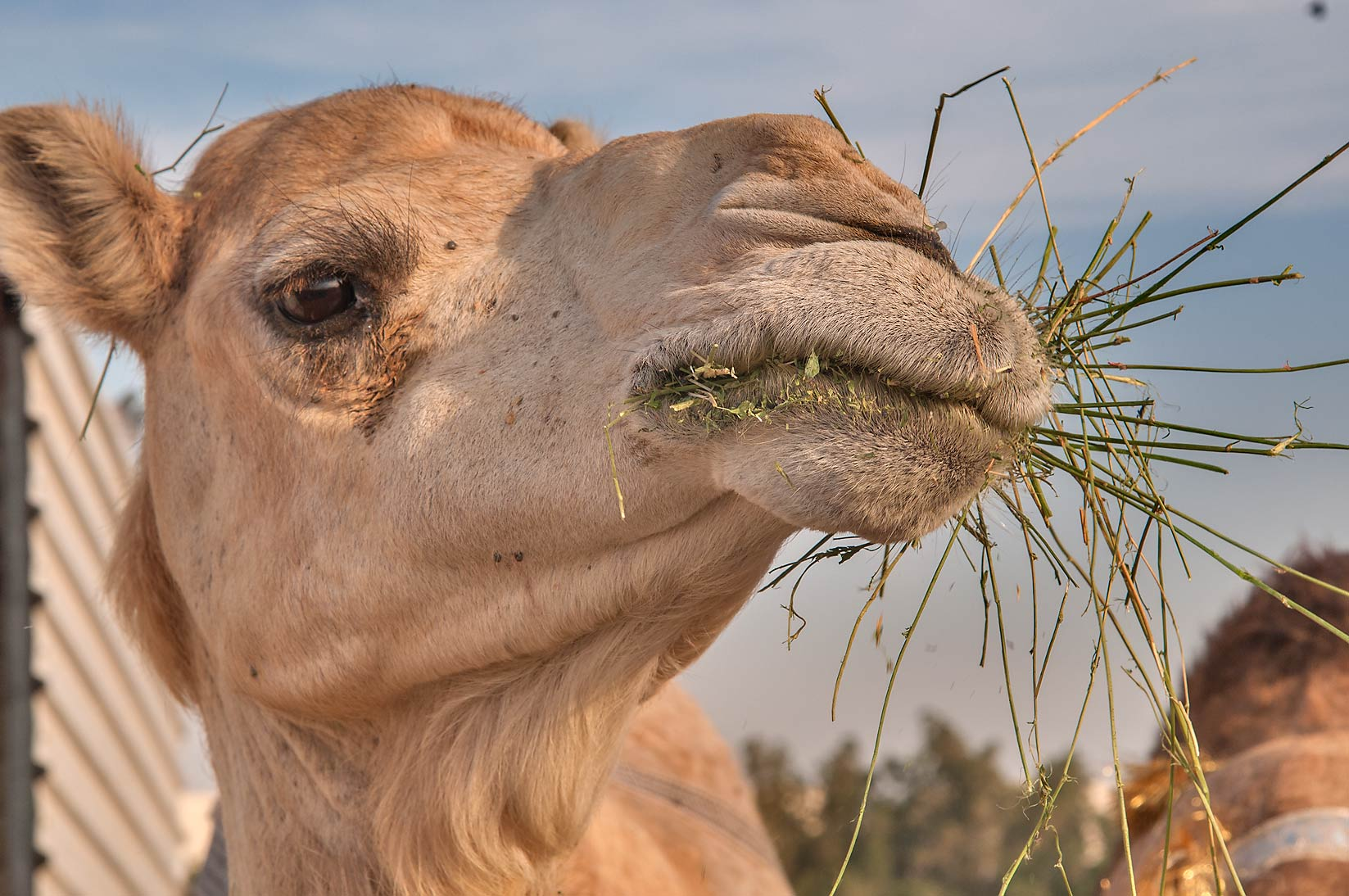 Camel with hay in its mouth in Livestock Market, Wholesale Markets area. Doha, Qatar