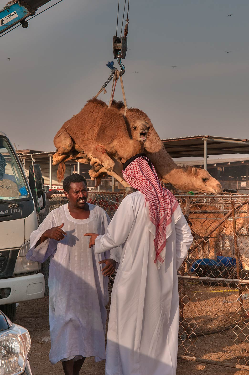 Shopping for camels in Livestock Market, Wholesale Markets area. Doha, Qatar