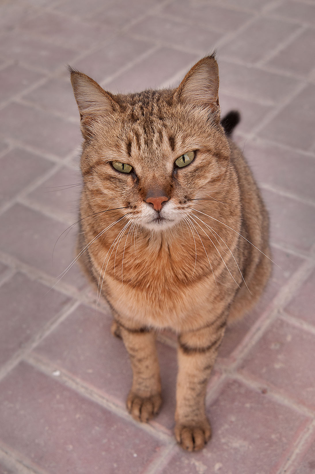 Tabby cat in Dar al Salam Compound, Abu Hamour area. Doha, Qatar