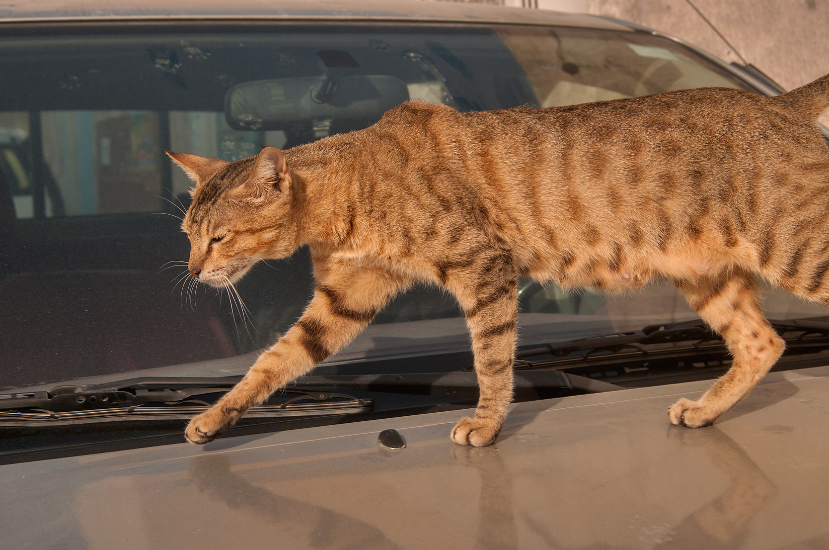 Cat on a car on Al Maymoun St., Musheirib area. Doha, Qatar
