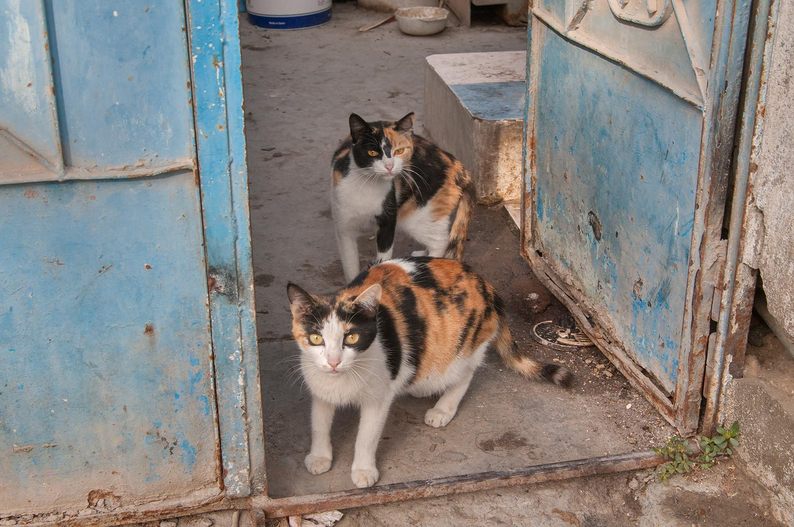 Pair of calico cat at Al Diwan St., Musheirib area. Doha, Qatar