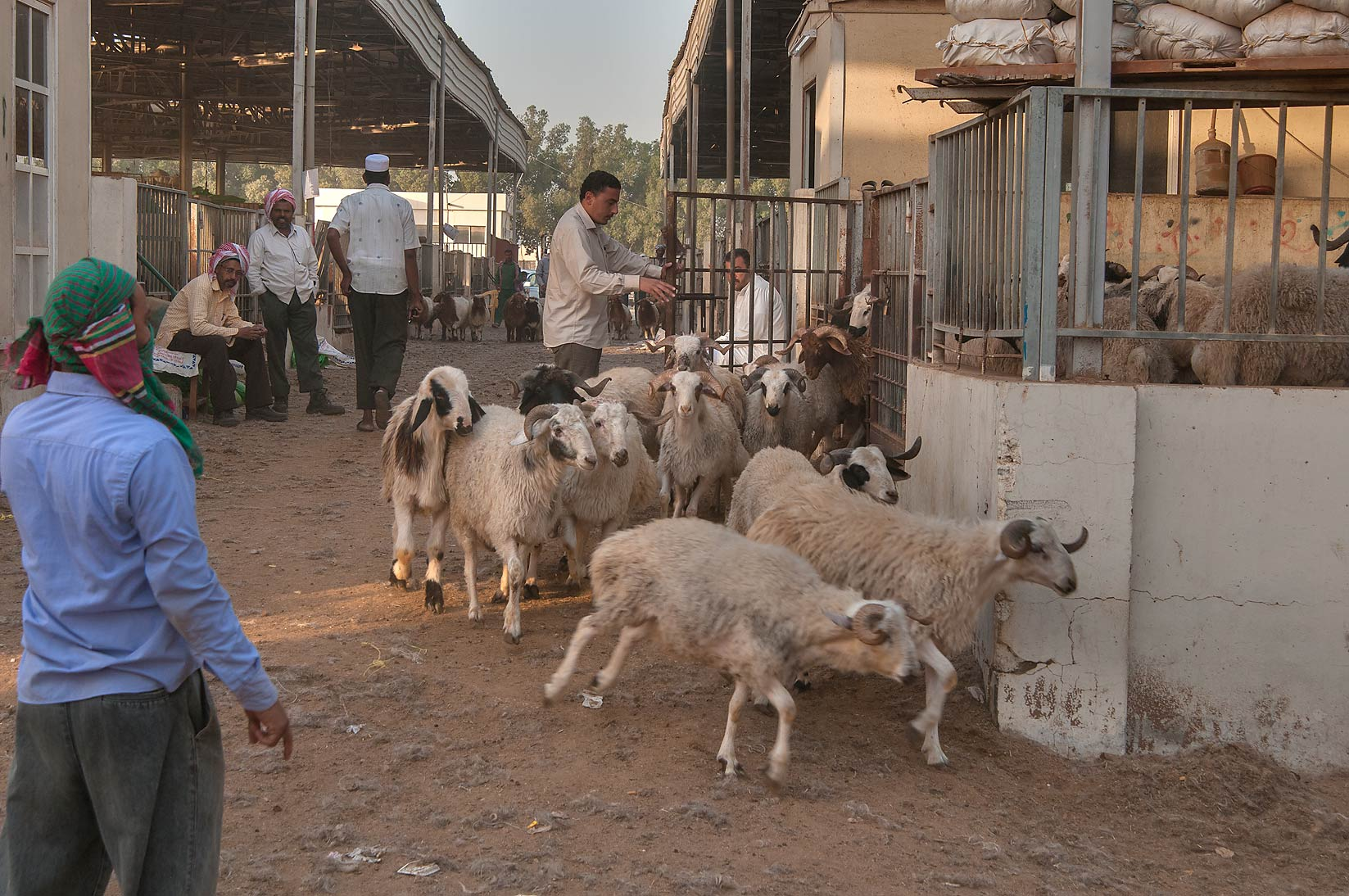 Moving sheep in Livestock Market, Wholesale Markets area. Doha, Qatar