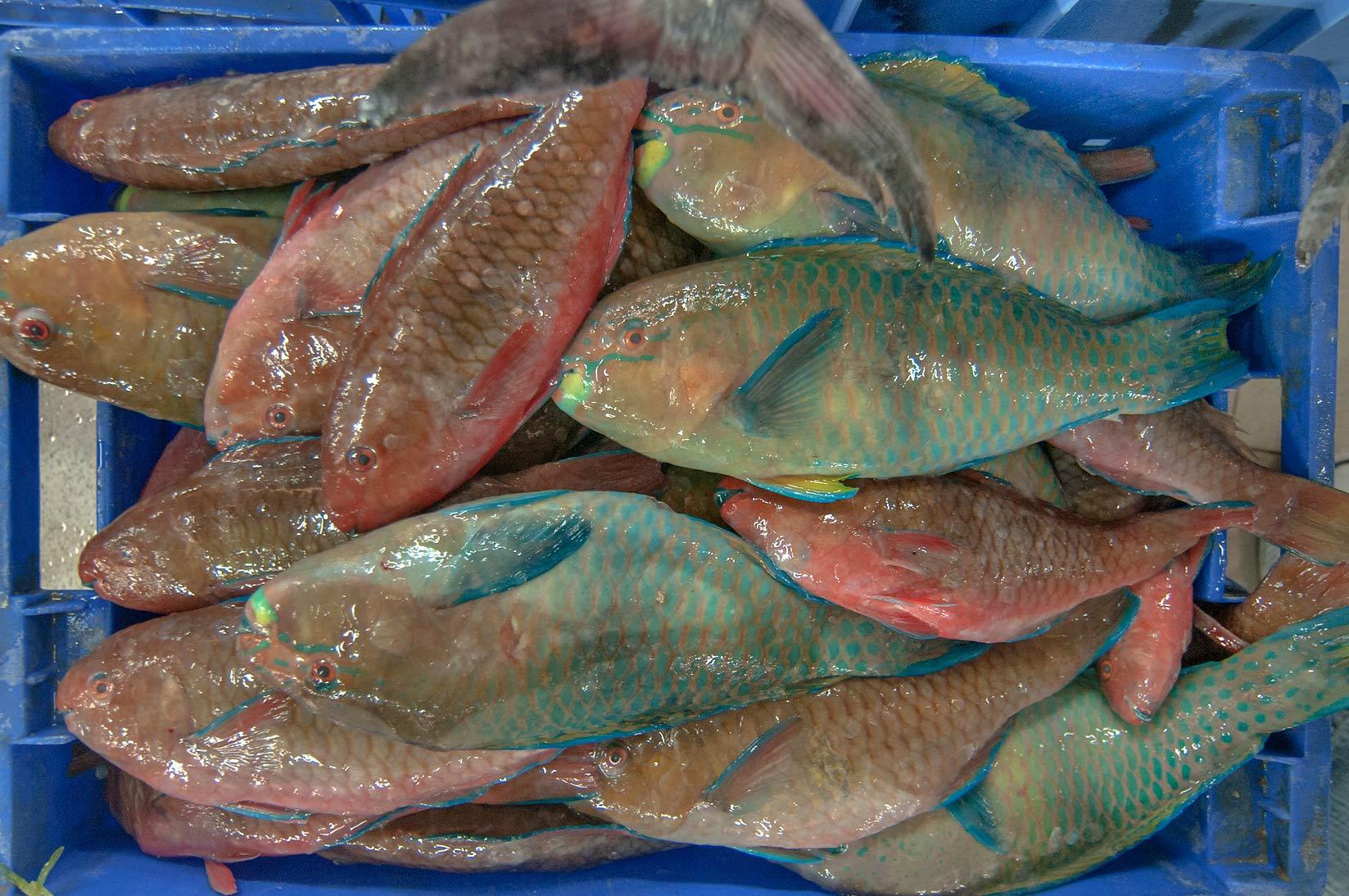 Photo 1167 08 parrotfish gain chlorurus sordidus in for Central fish market
