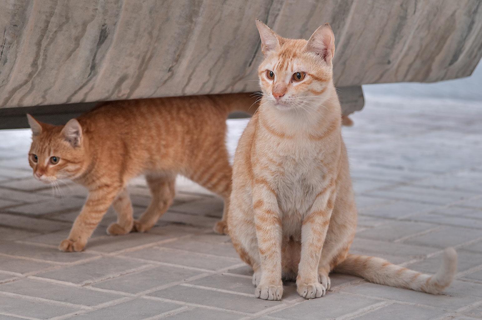 Photo 1169-11: Brown arabian mau cats under a dumpster in ...
