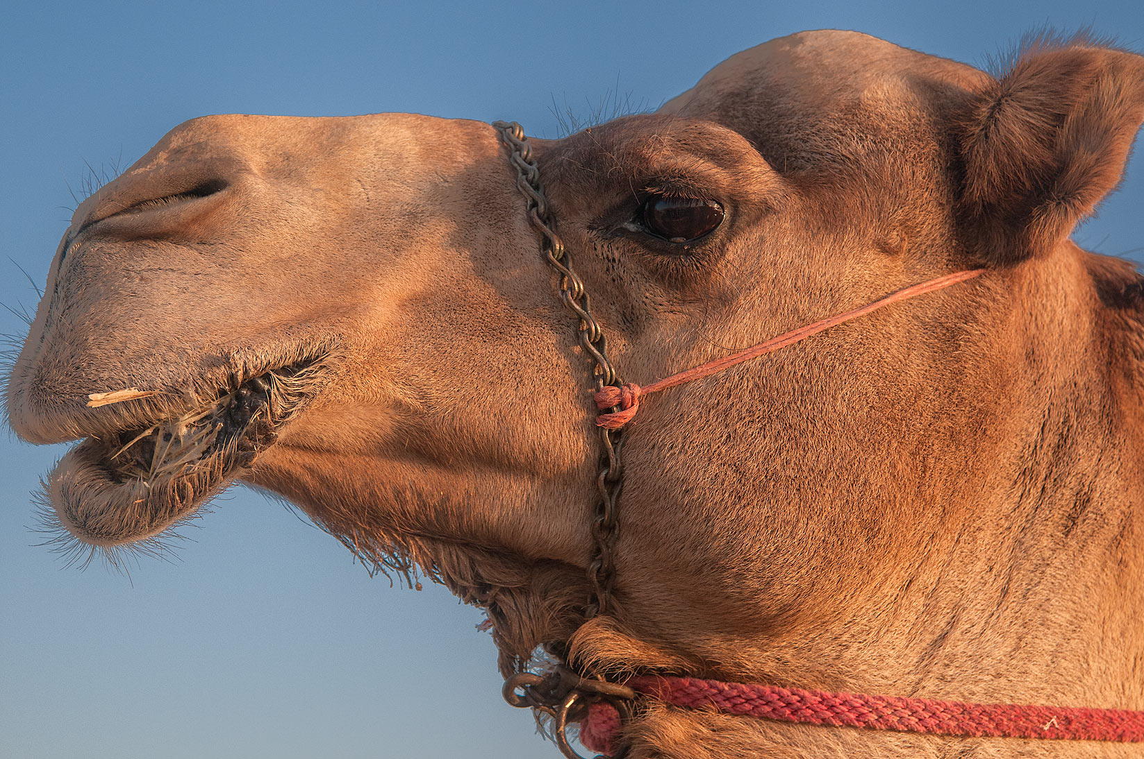 Head of a camel in Camel Market, Abu Hamour area. Doha, Qatar