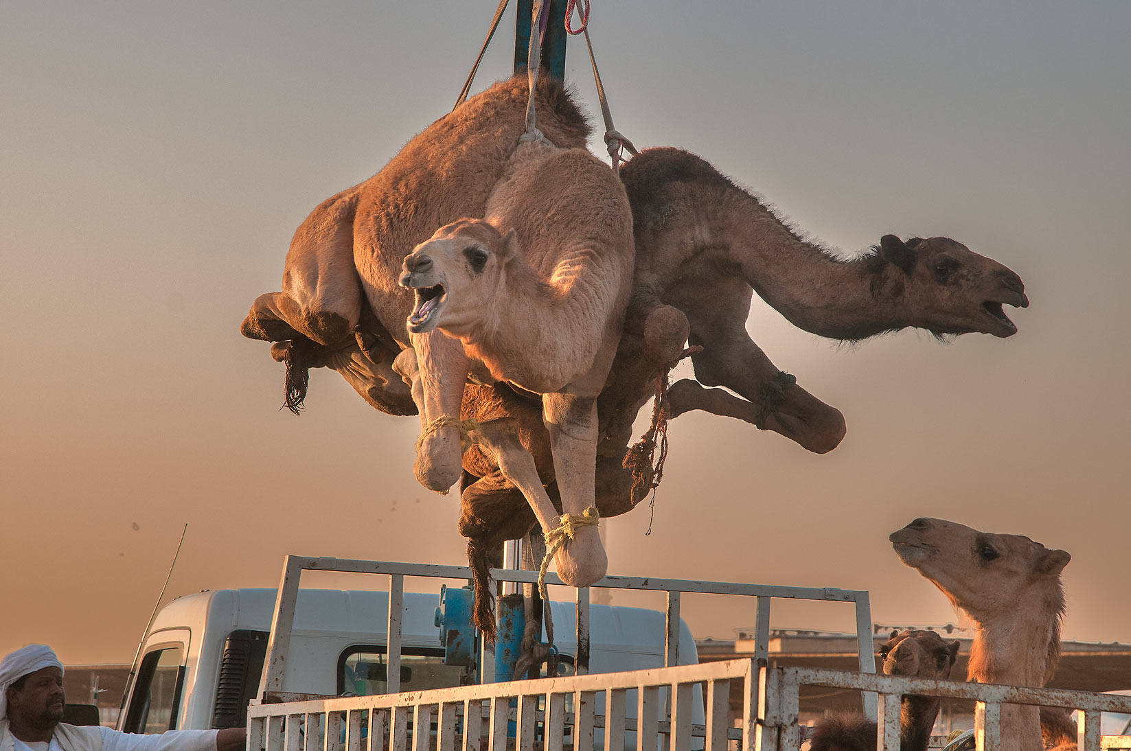 Pair of camels lifted by hydraulic crane in Camel Market, Abu Hamour area. Doha, Qatar