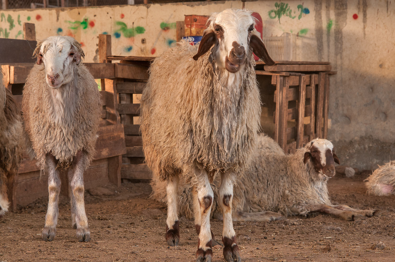 Two sheep in livestock market, Abu Hamour area. Doha, Qatar