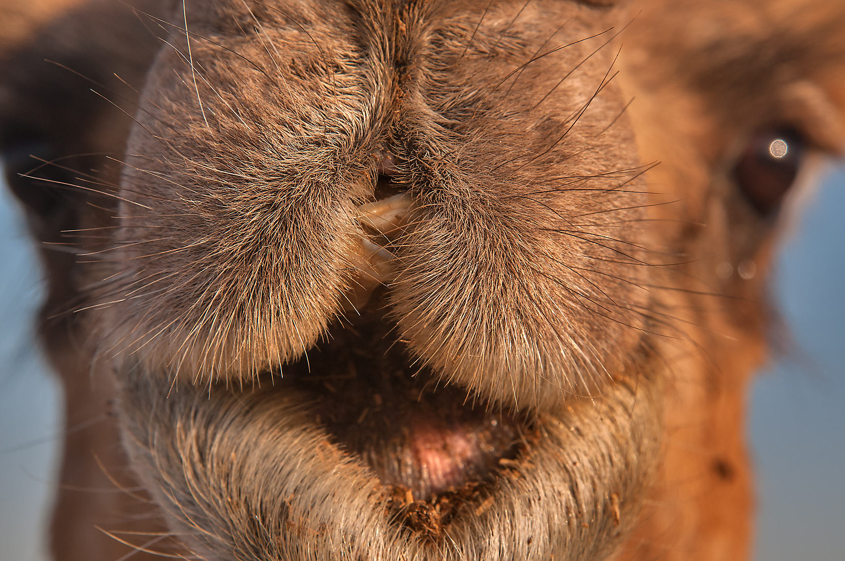 Camel's snout in livestock market, Abu Hamour area. Doha, Qatar