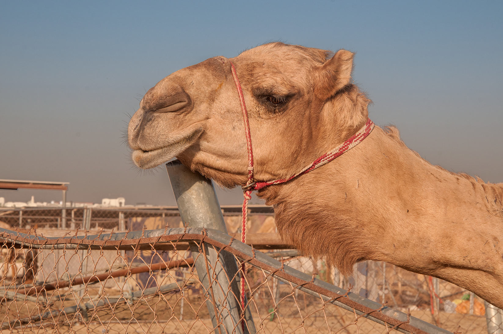 Camel with itching neck in livestock market, Abu Hamour area. Doha, Qatar