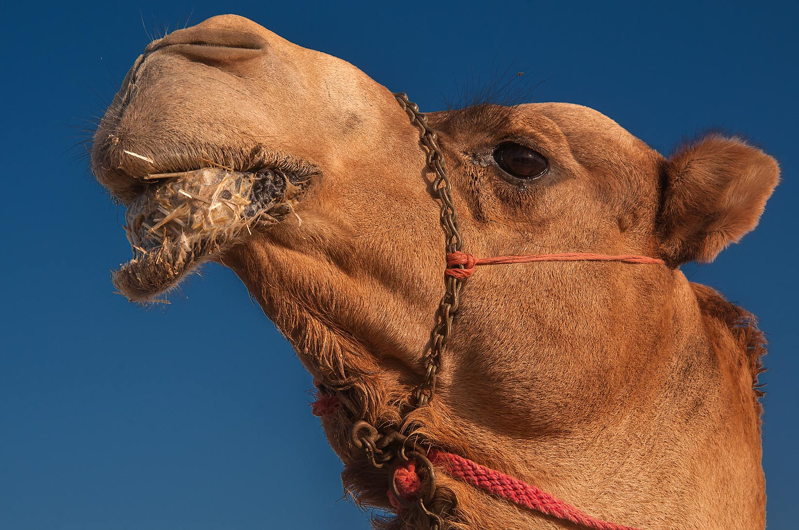 Camel with drooping lower lip in livestock market, Abu Hamour area. Doha, Qatar