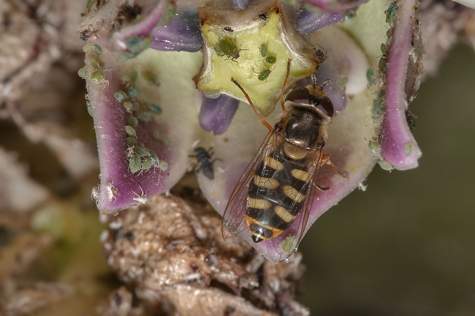 Hoverfly (Syrphidae) on Sodom Apple (Calotropis...Compound, Abu Hamour area. Doha, Qatar