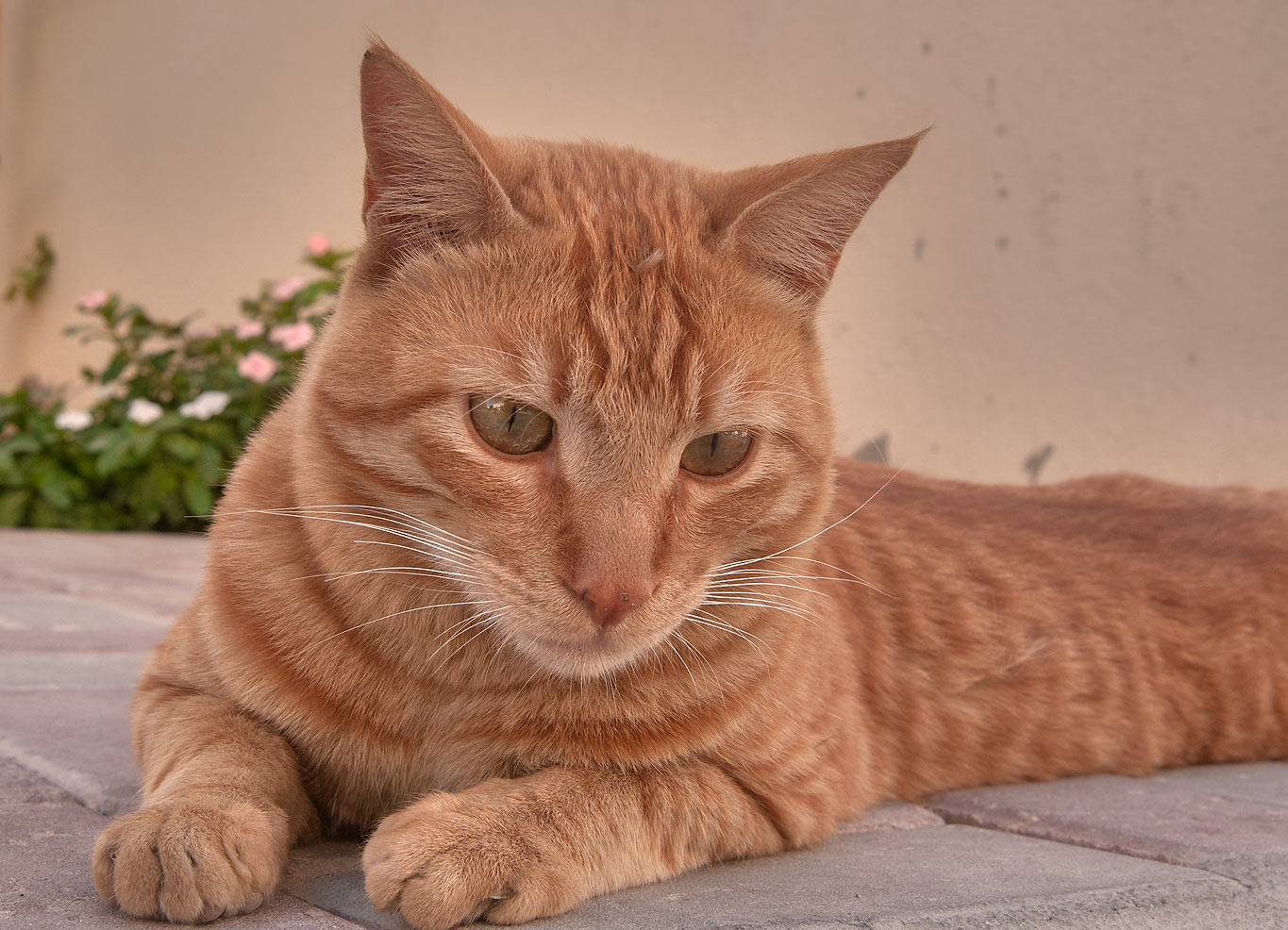 Brown arabian mau cat sitting in Dar Al Salam Compound, Abu Hamour area. Doha, Qatar