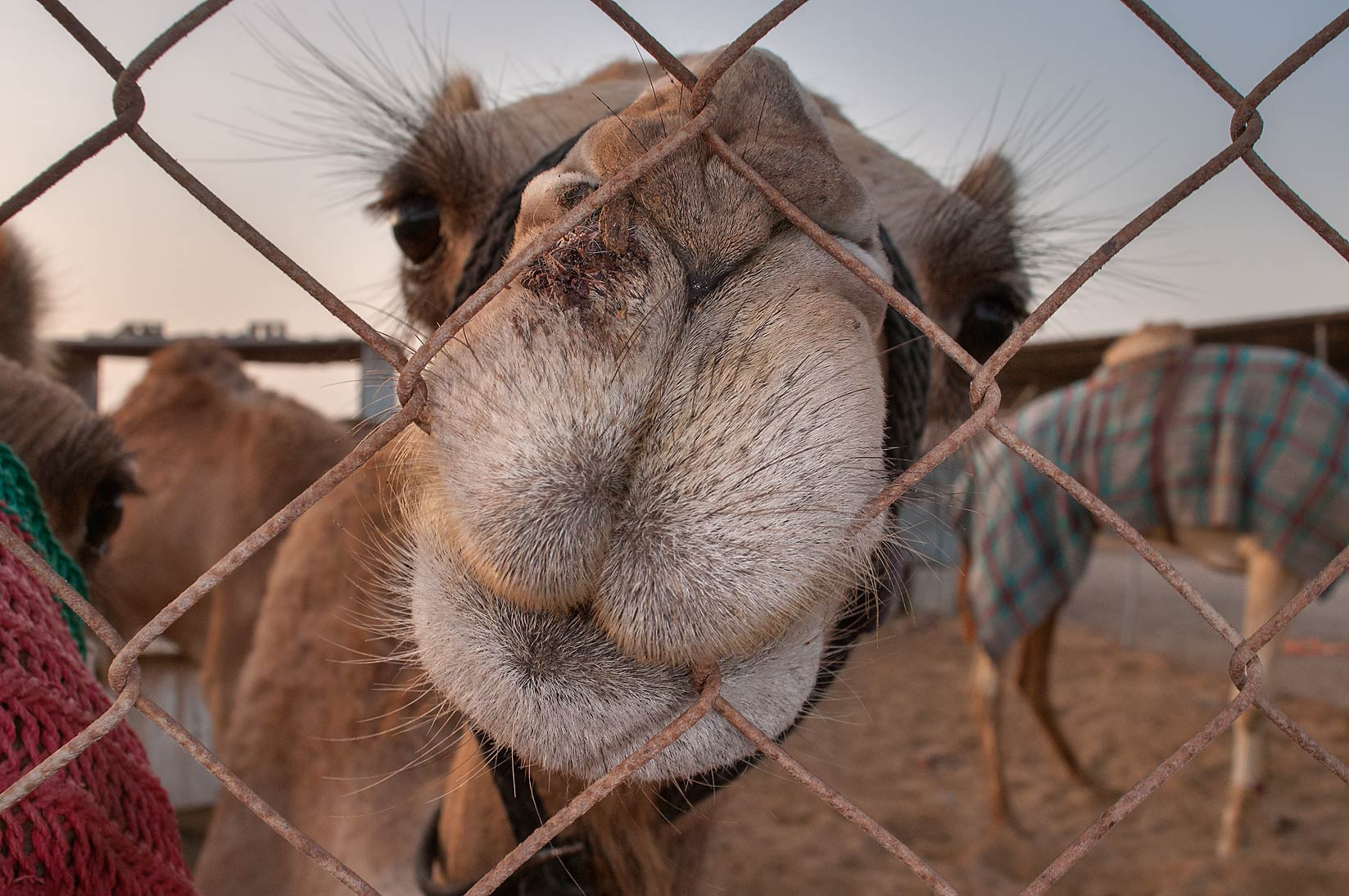 Camel gnawing a fence in Livestock Market, Abu Hamour area. Doha, Qatar