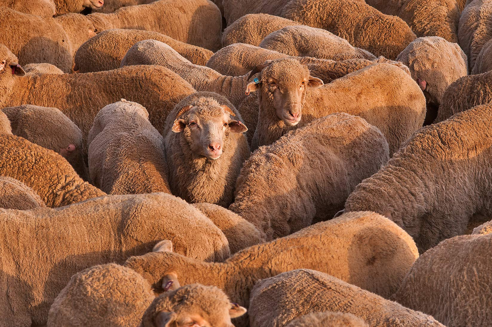 Australian sheep in a feedlot of Livestock Market...Abu Hamour area. Doha, Qatar