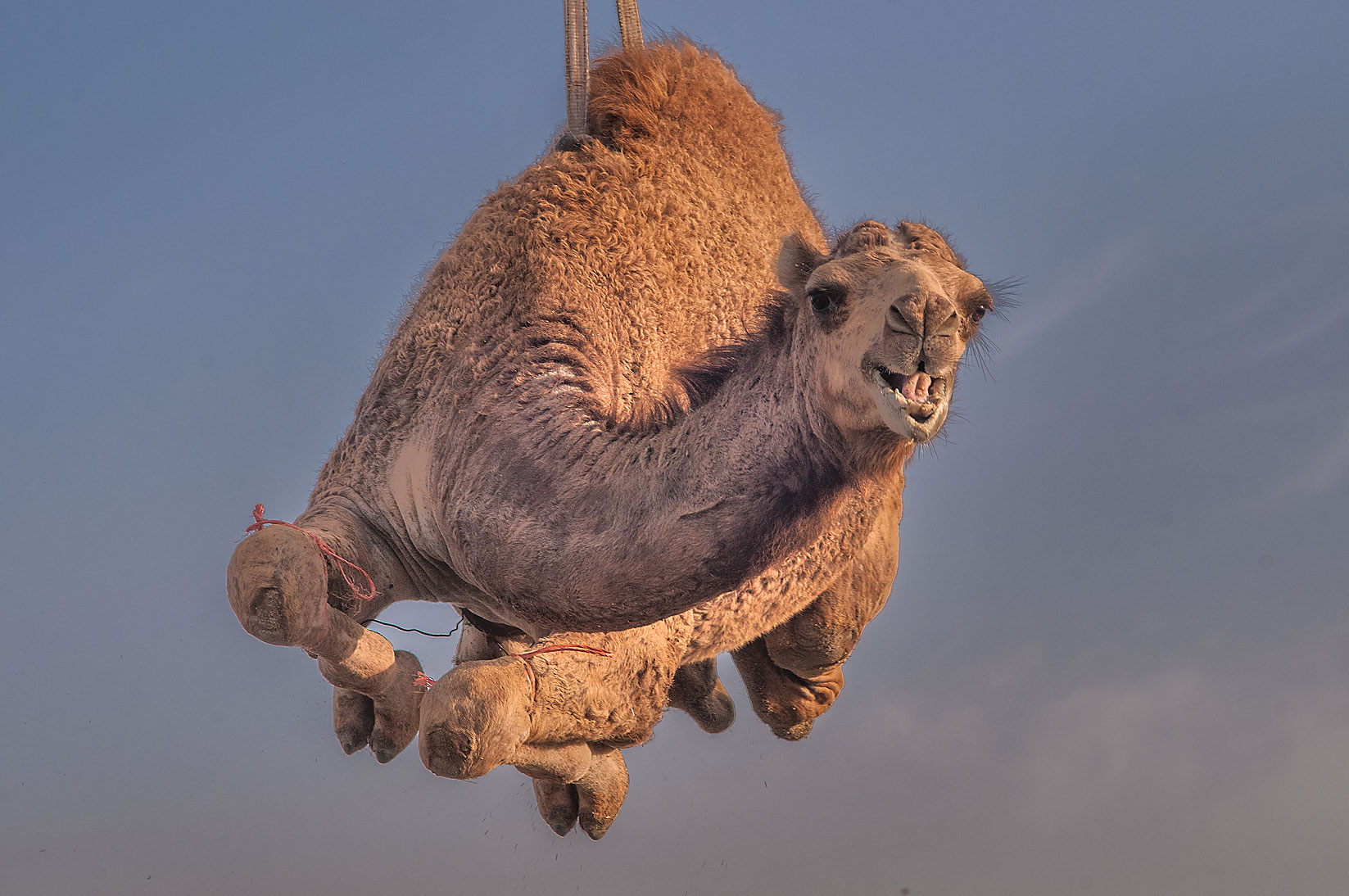 Camel smiling from sky after it was lifted by a...Market, Abu Hamour area. Doha, Qatar
