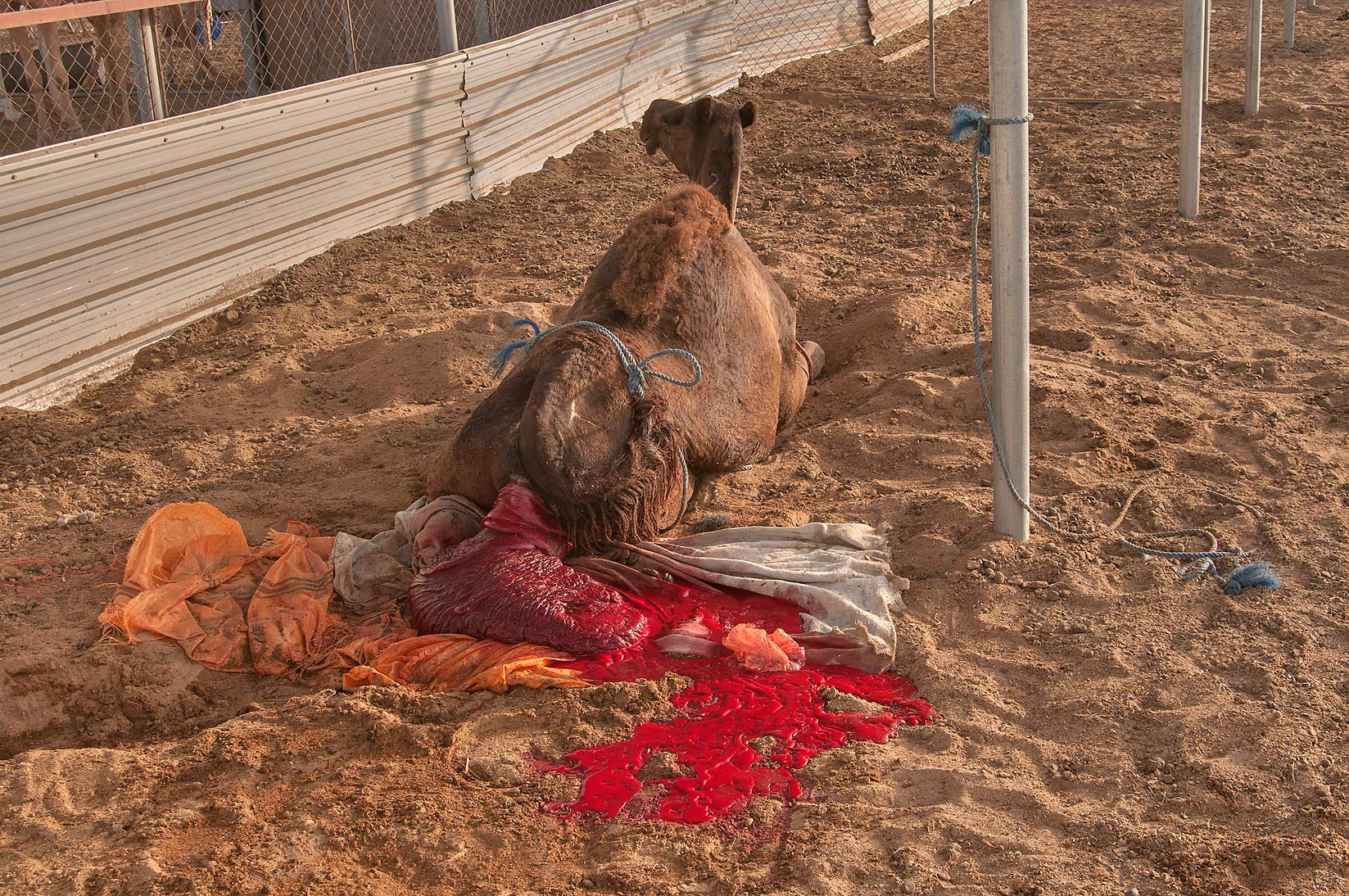 Camel excreting some red stuff from its back in...Market, Abu Hamour area. Doha, Qatar