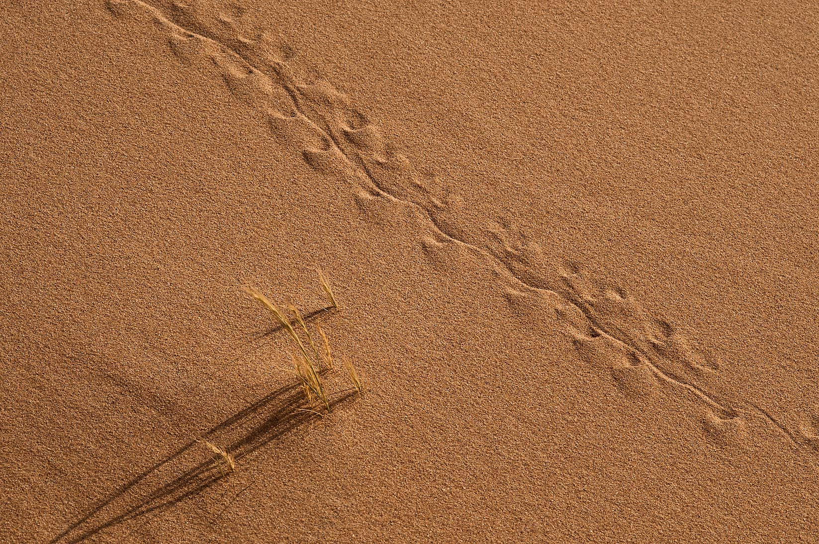 Tracks of toad-headed agama lizard at the foot of...Mesayeed, south-west from Doha. Qatar