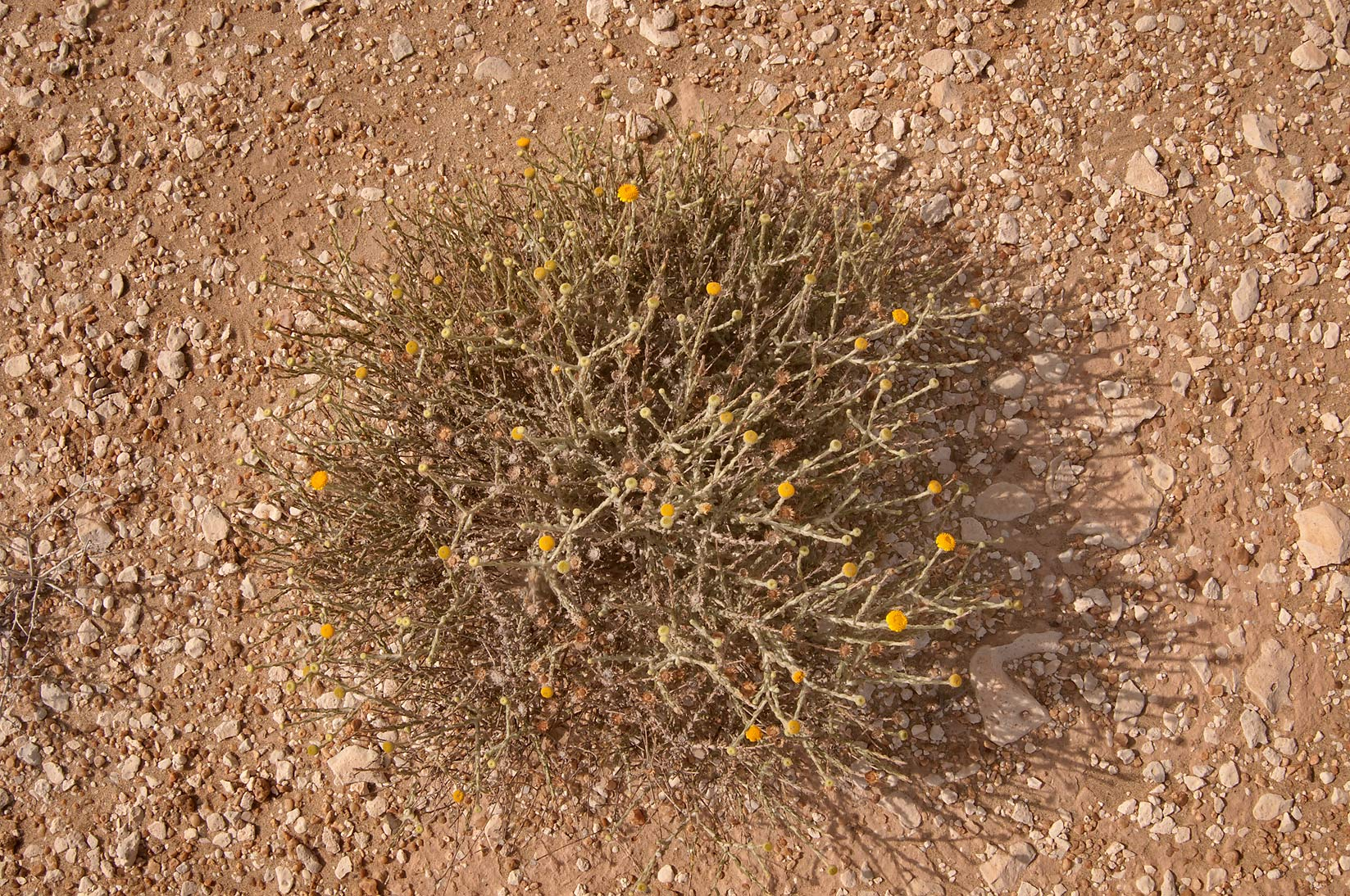 Desert plant with yellow flowers Pulicaria...Mesayeed, south-west from Doha. Qatar
