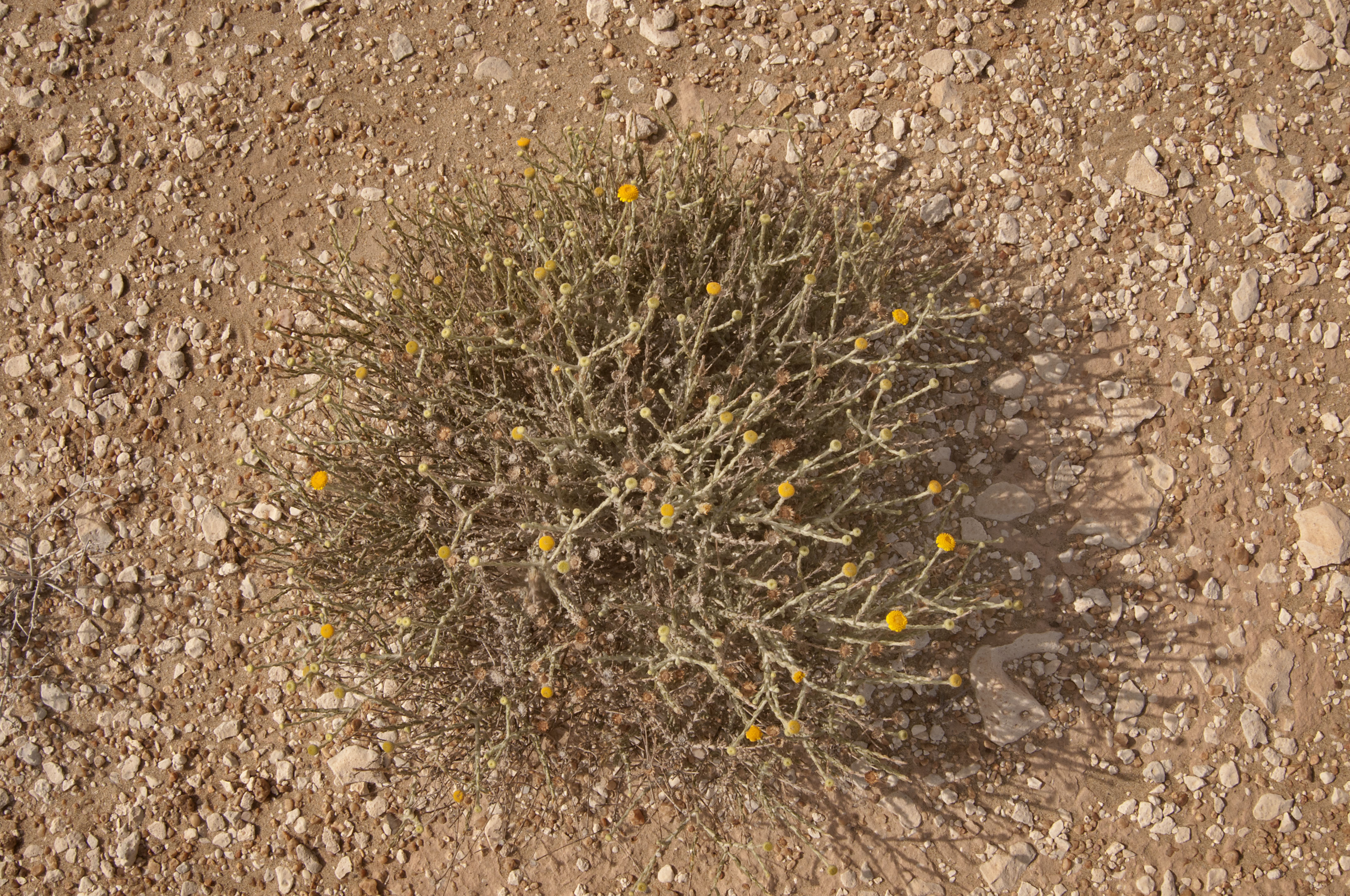 Photo 1175 11 Desert Plant With Yellow Flowers Pulicariasayeed
