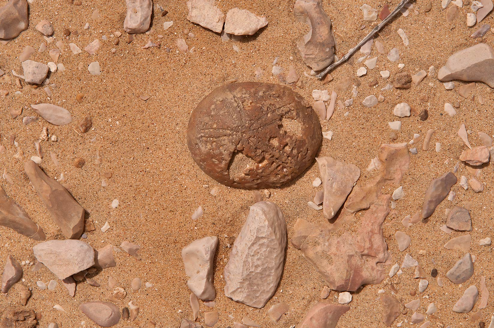 Fossil sea urchin (echinoid, echinoderm) among...Mesayeed, south-west from Doha. Qatar