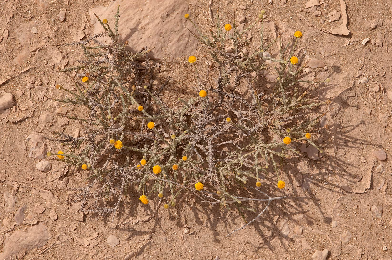 Desert plant of aster family with yellow flowers...Mesayeed, south-west from Doha. Qatar