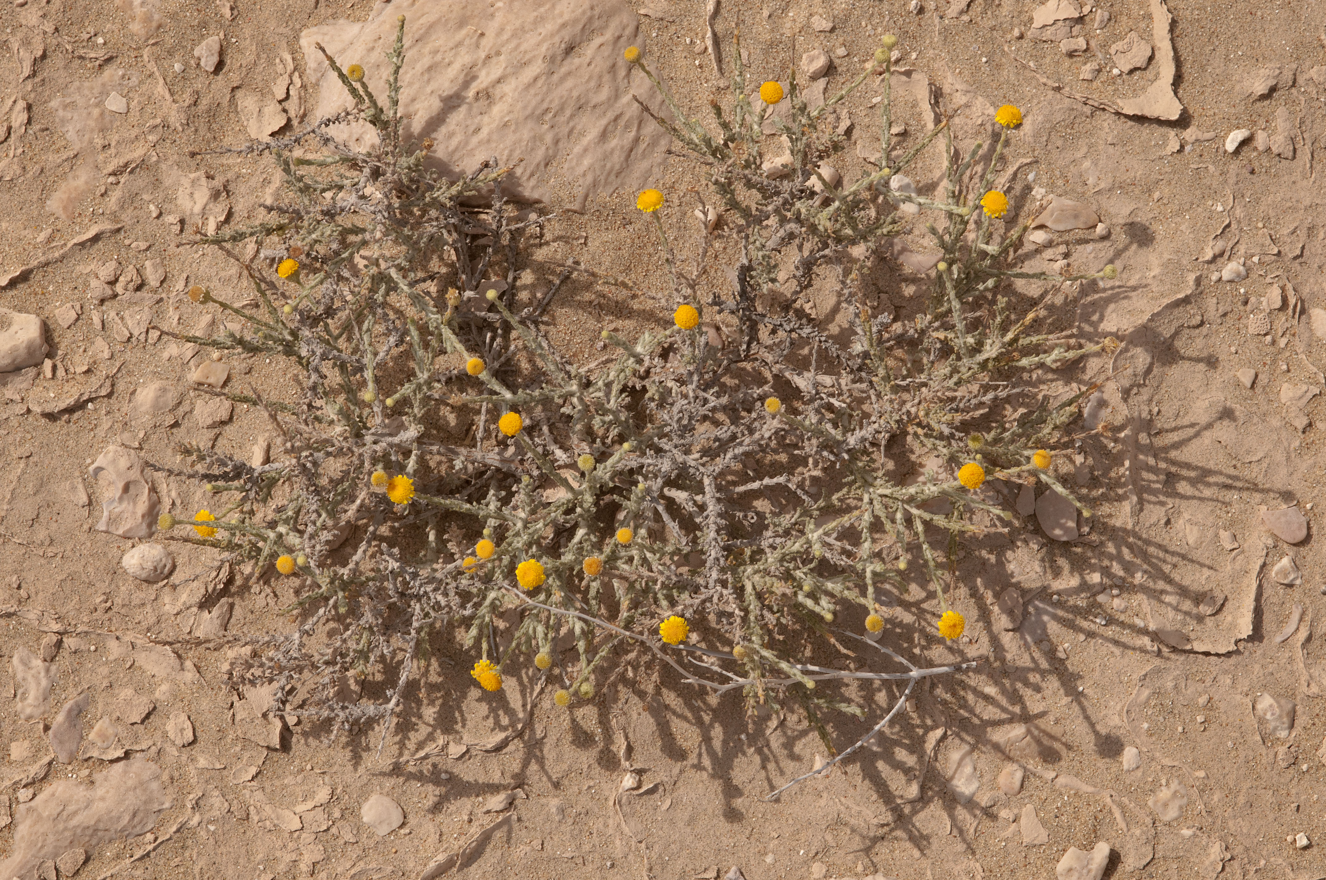 Photo 1176 25 Desert Plant Of Aster Family With Yellow Flowers