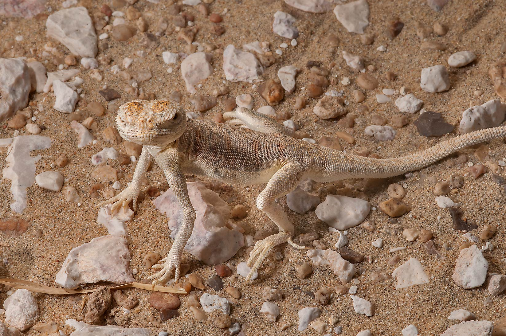 Desert lizard Arabian toad headed agama...Mesayeed, south-west from Doha. Qatar