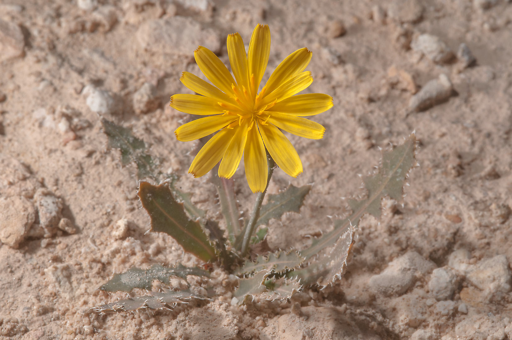 Yellow flower of Launaea mucronata (local name...of Ras Laffan, north from Doha. Qatar