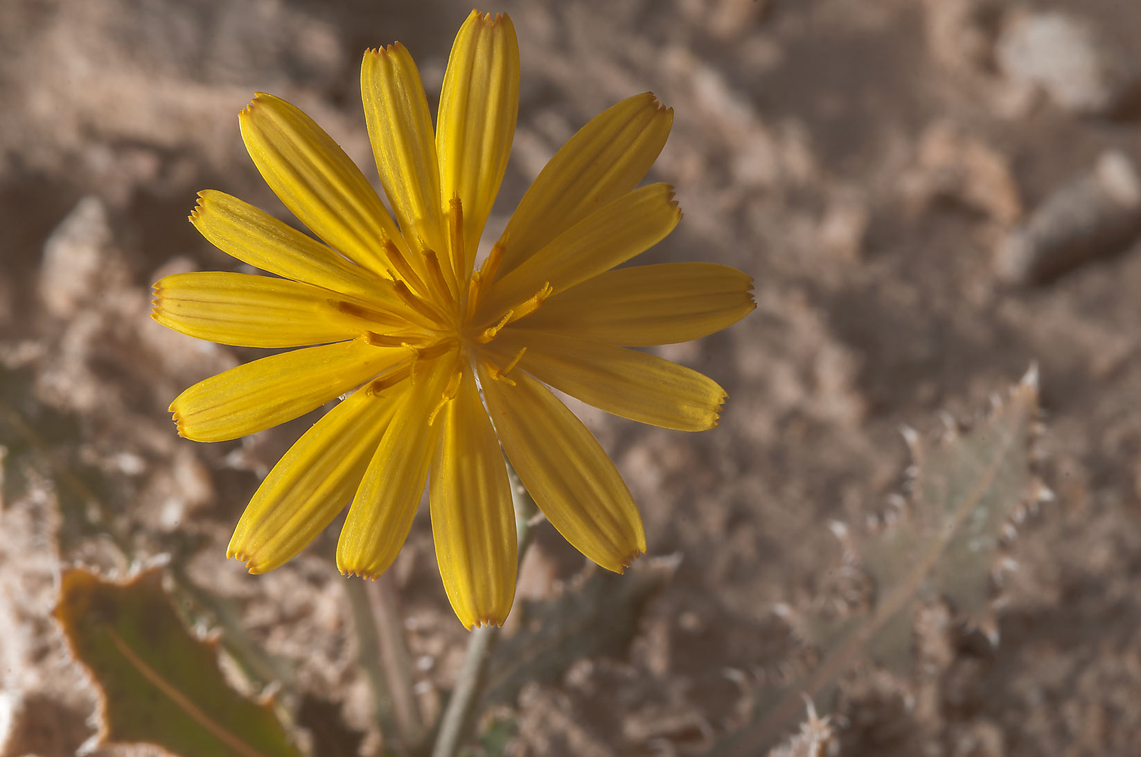 Dandelion like flower of Launaea mucronata (local...of Ras Laffan, north from Doha. Qatar