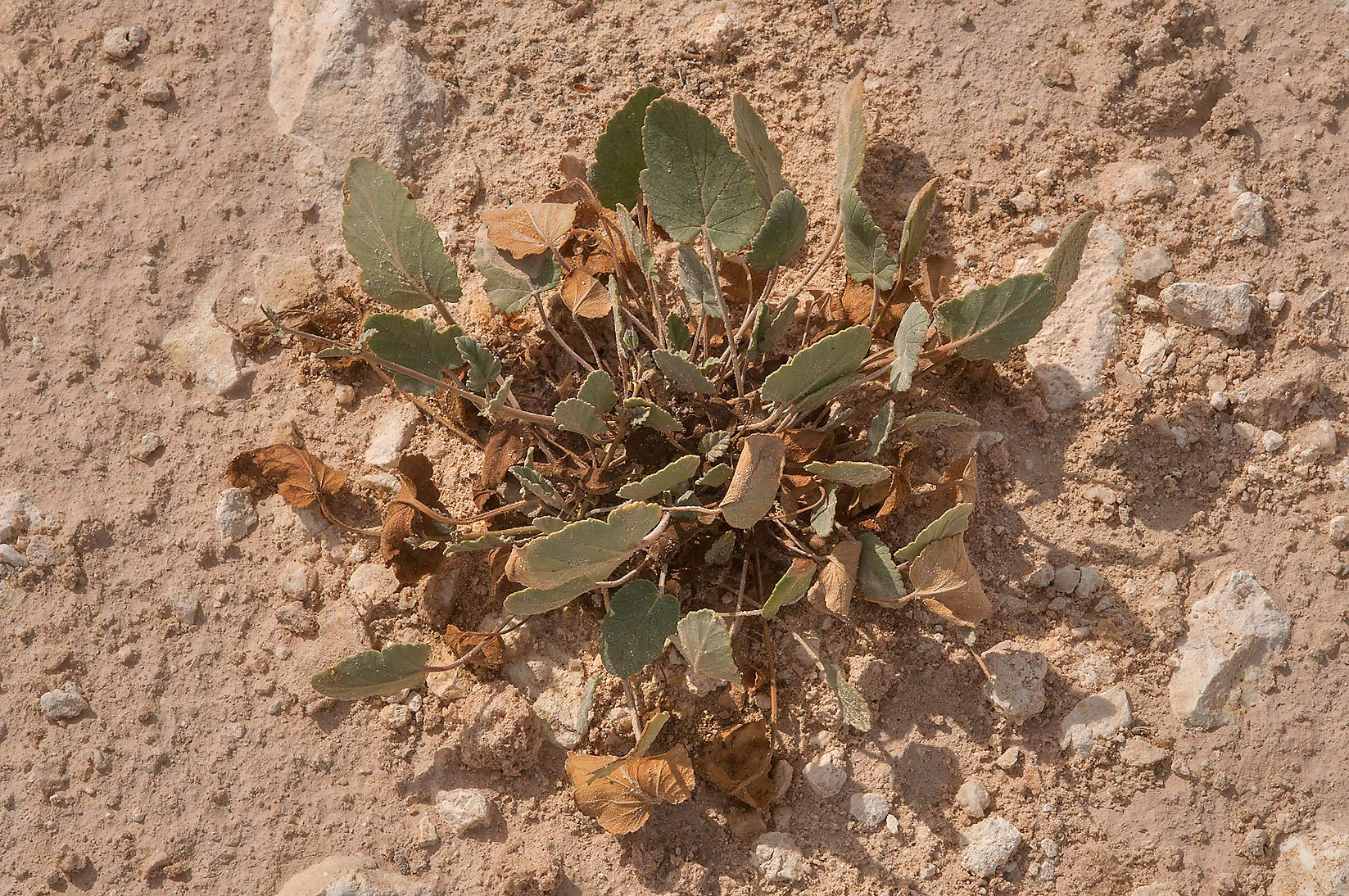 Rosette of drying leaves of storkbill (Erodium...of Ras Laffan, north from Doha. Qatar