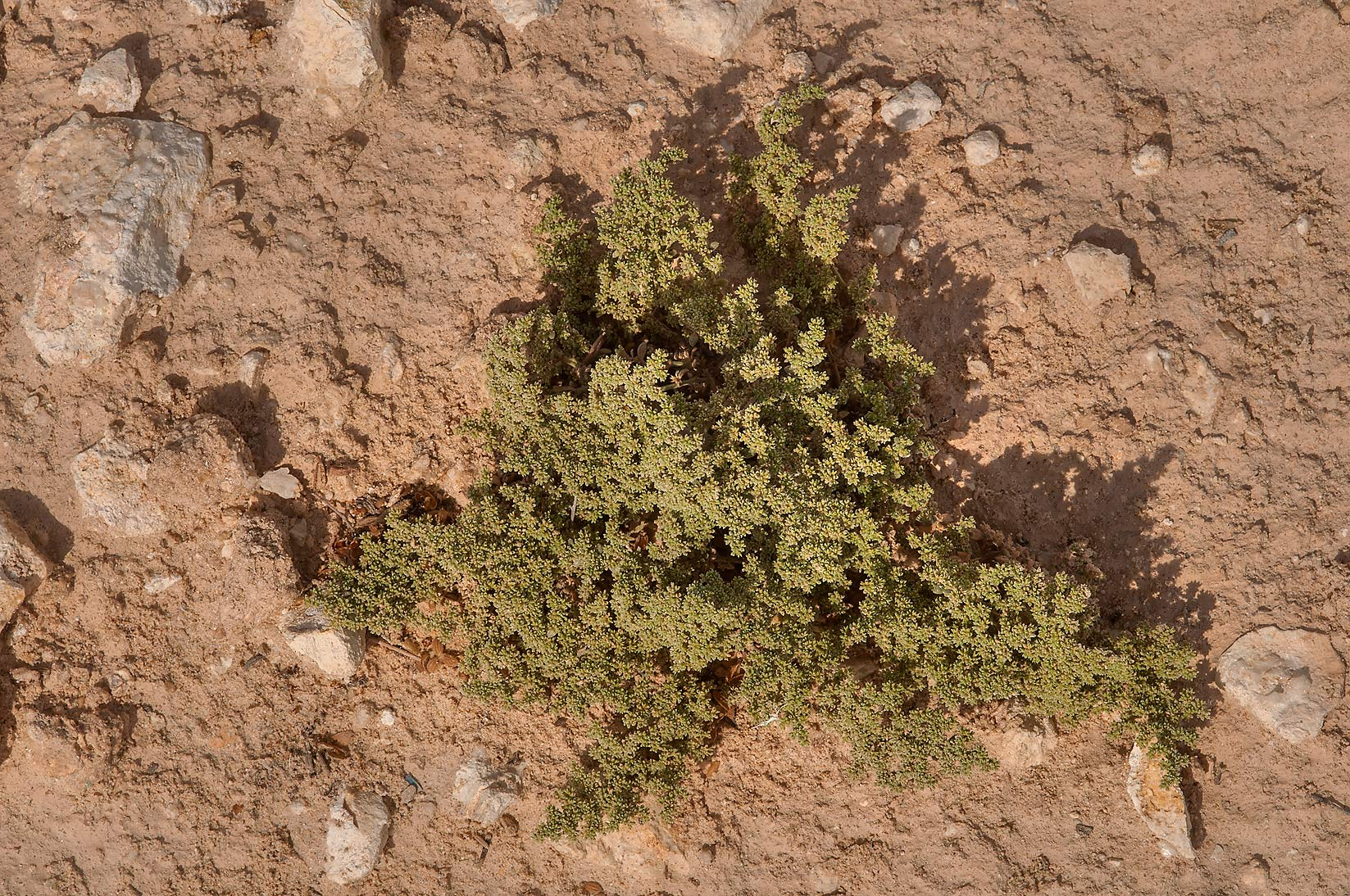 Desert plant Herniaria hemistemon (local name...of Ras Laffan, north from Doha. Qatar