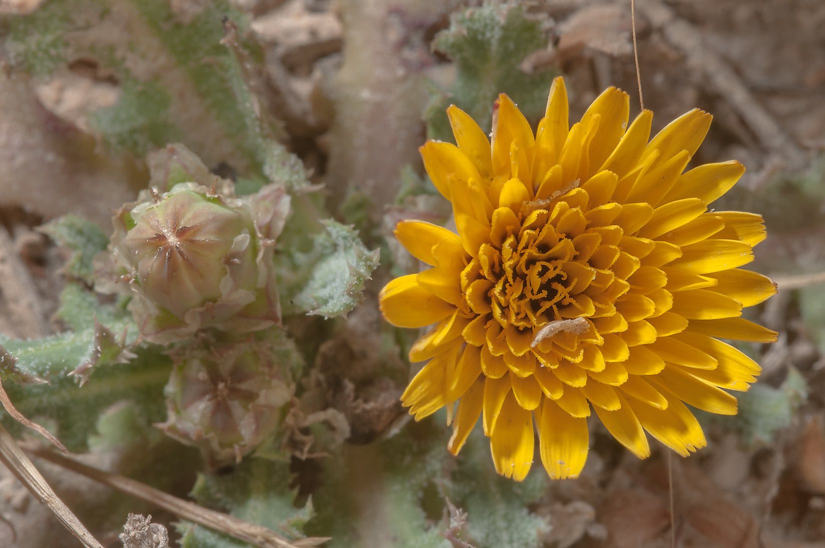 Yellow flower of false sowthistle (Reichardia...of Ras Laffan, north from Doha. Qatar