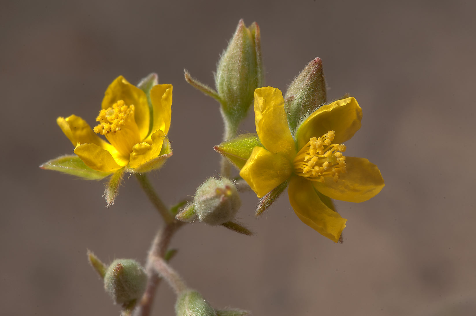 Flowers of Helianthemum kahiricum in desert near...of Ras Laffan, north from Doha. Qatar