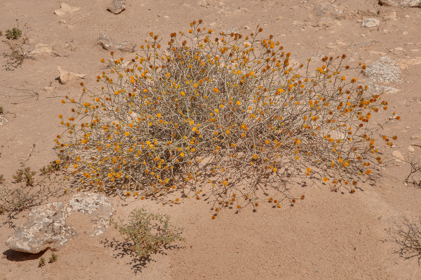 Rhanterium epapposum (native name Arfaj) in...of Ras Laffan, north from Doha. Qatar