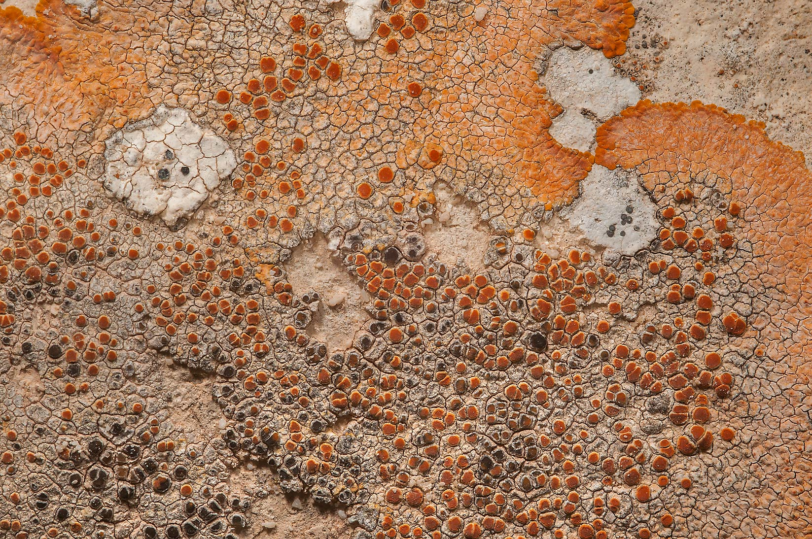 Golden crustose lichen Caloplaca aurantia on a...of Ras Laffan, north from Doha. Qatar