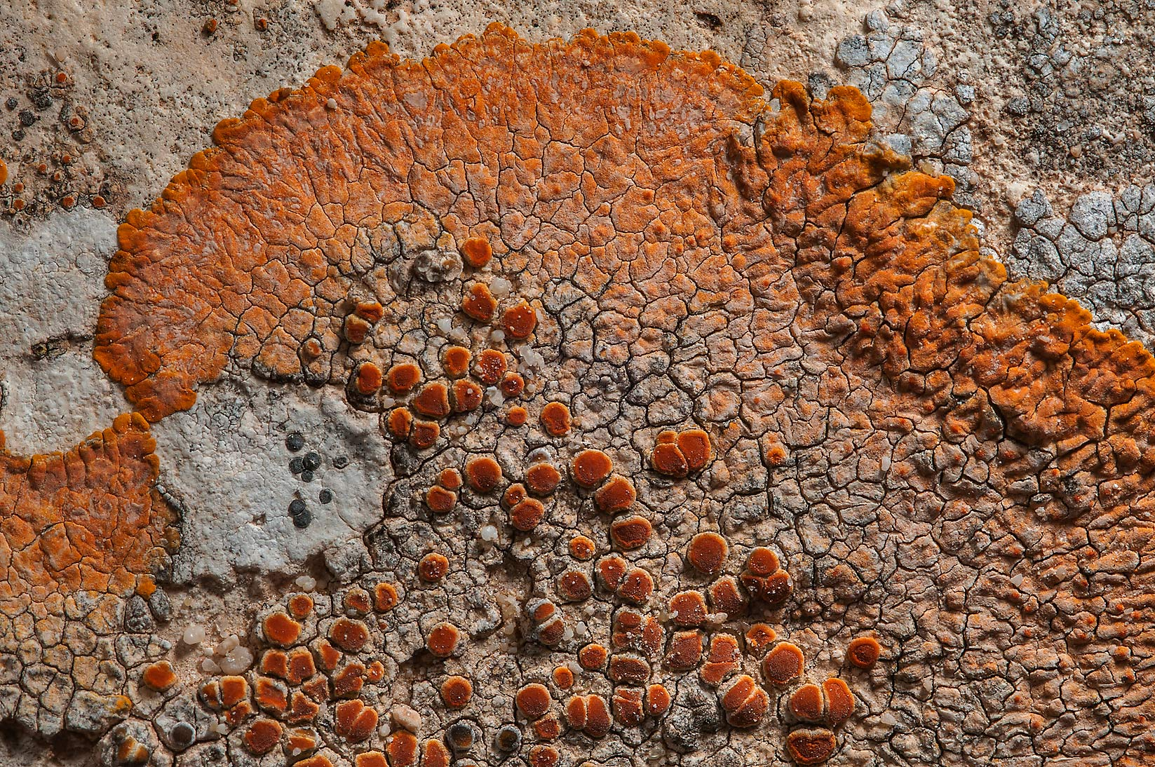 Crustose lichen Caloplaca aurantia with orange...of Ras Laffan, north from Doha. Qatar