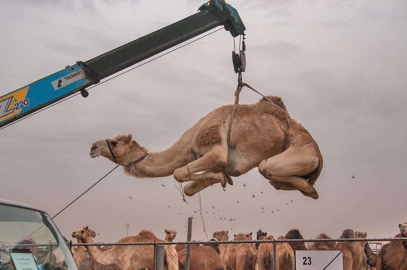 Camel lifted by hydraulic crane in livestock markets, Abu Hamour area. Doha, Qatar